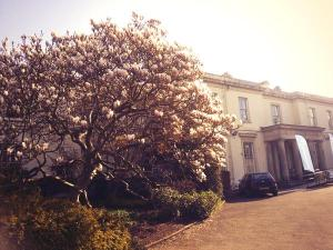 The magnificent Magnolia tree outside the Mansion House that boosts our wellbeing